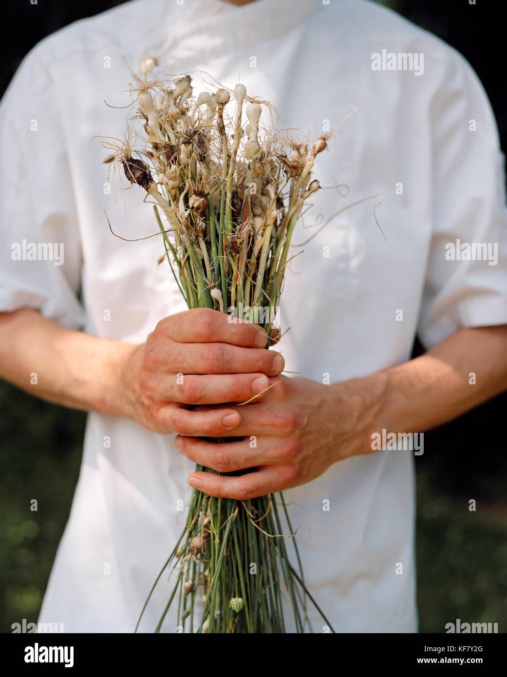 La France, de l'Arbois, second de cuisine yoann constanty détient l'ail sauvages fraîchement cueillis dans la campagne, région des vins du Jura Banque D'Images