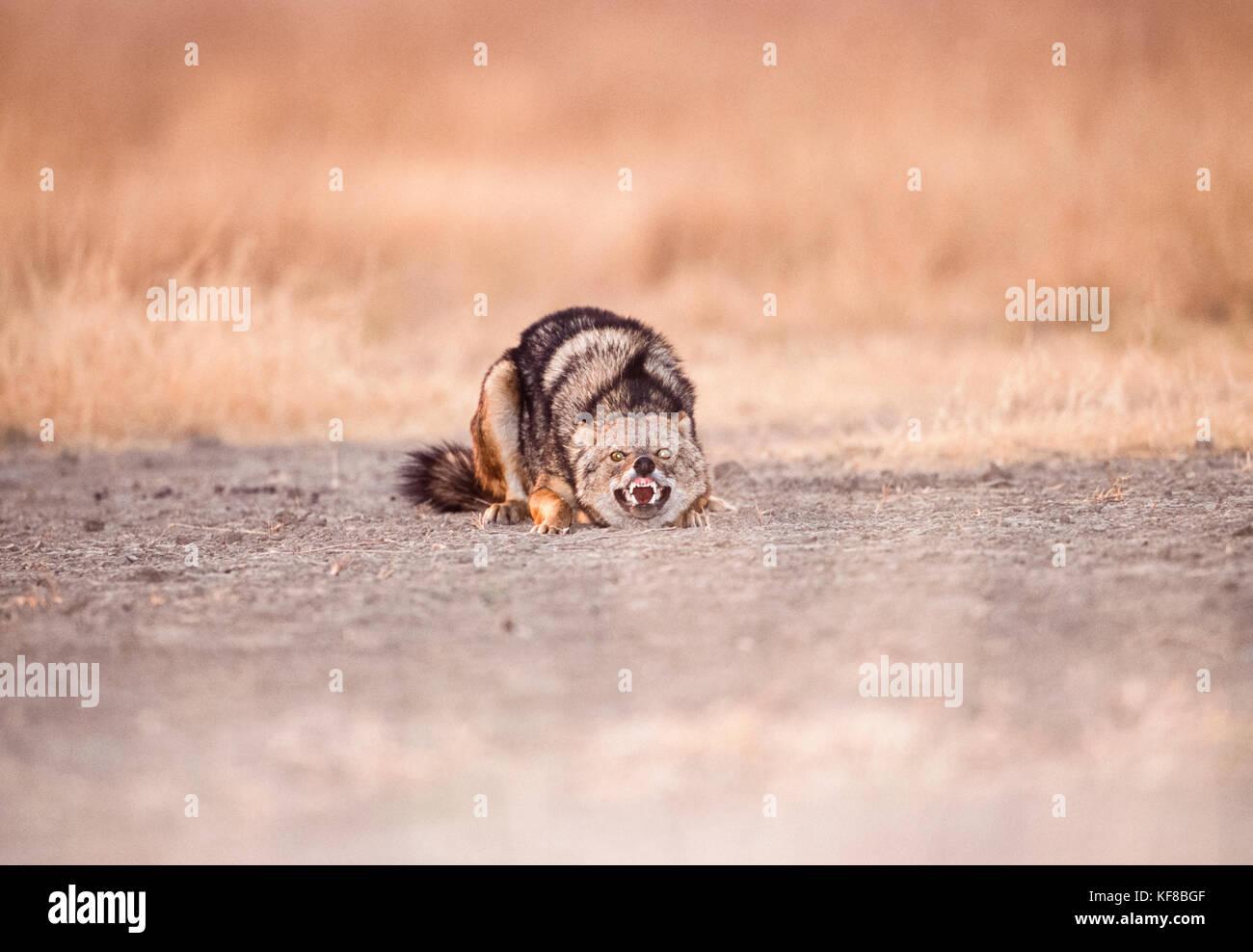 Indian jackal, Canis aureus indicus, montrant un comportement de soumission, le parc national de Keoladeo ghana, bharatpur, Rajasthan, Inde Banque D'Images