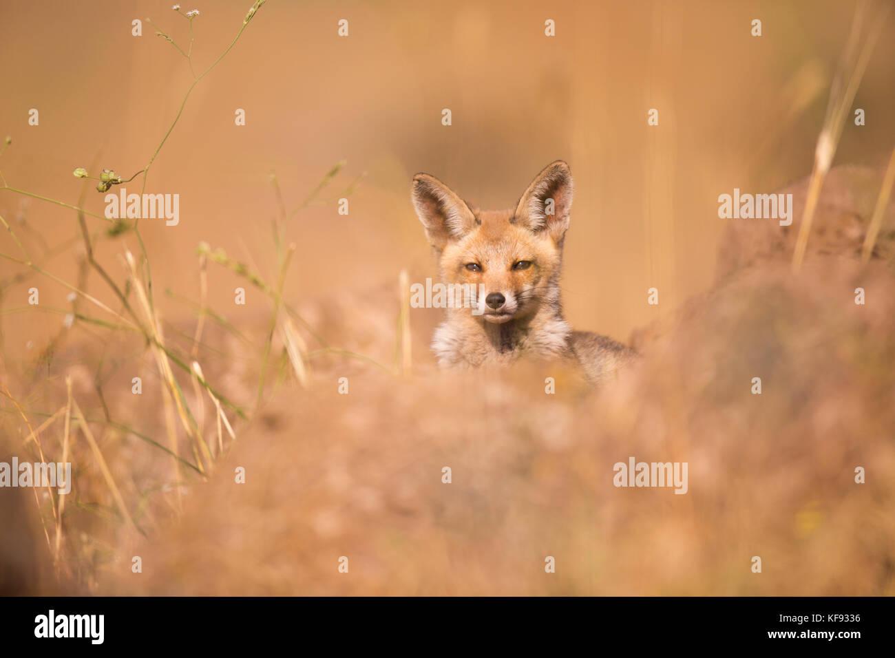 La red fox (Vulpes vulpes). Le renard roux est le plus grand des vrais renards, tout en étant le plus géographiquement Photo Stock