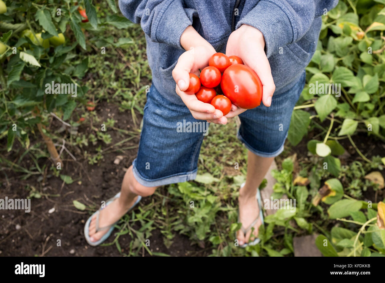 Une jeune fille prend les tomates biologiques de sa maison jardin à bischeim, France. Photo Stock