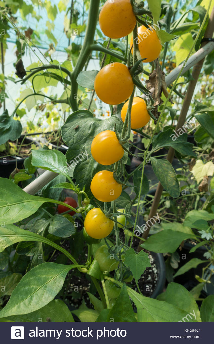 Culture biologique des tomates jaunes mûres suspendus sur la vigne, cultivée dans une maison verte aussi Photo Stock