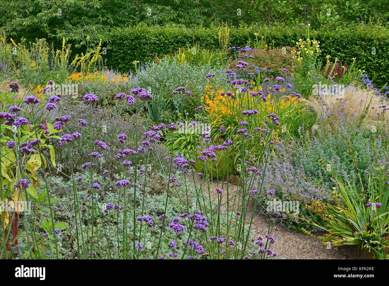 Fleur de jardin frontière avec la floraison verveine bonariensis ...