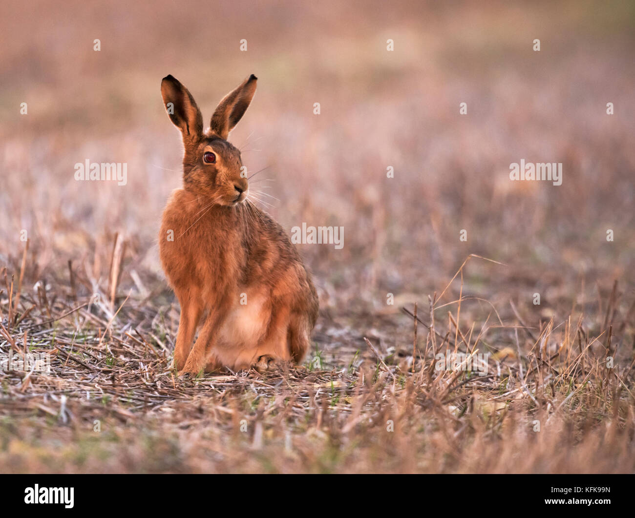 Lièvre brun (Lepus europaeus) , Gloucestershire Photo Stock