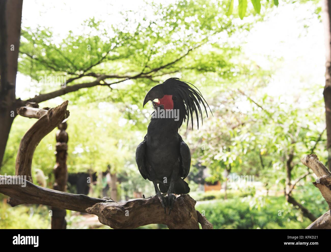 Cacatoès noir (probosciger aterrimus palm) perché sur la branche. L'une des espèces de cacatoès en Indonésie Banque D'Images