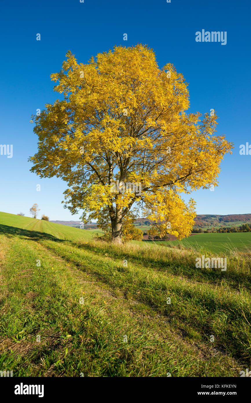 Frêne (Fraxinus excelsior), arbre solitaire en automne, la réserve de biosphère de rhön, Hesse Photo Stock