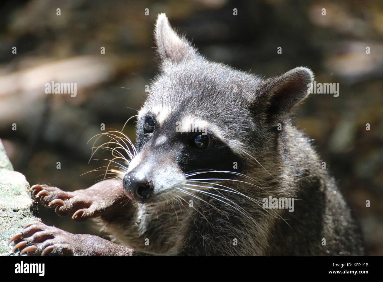 Curieux raton laveur (Procyon lotor) dans la région de Parc National Manuel Antonio, Costa Rica. Photo Stock