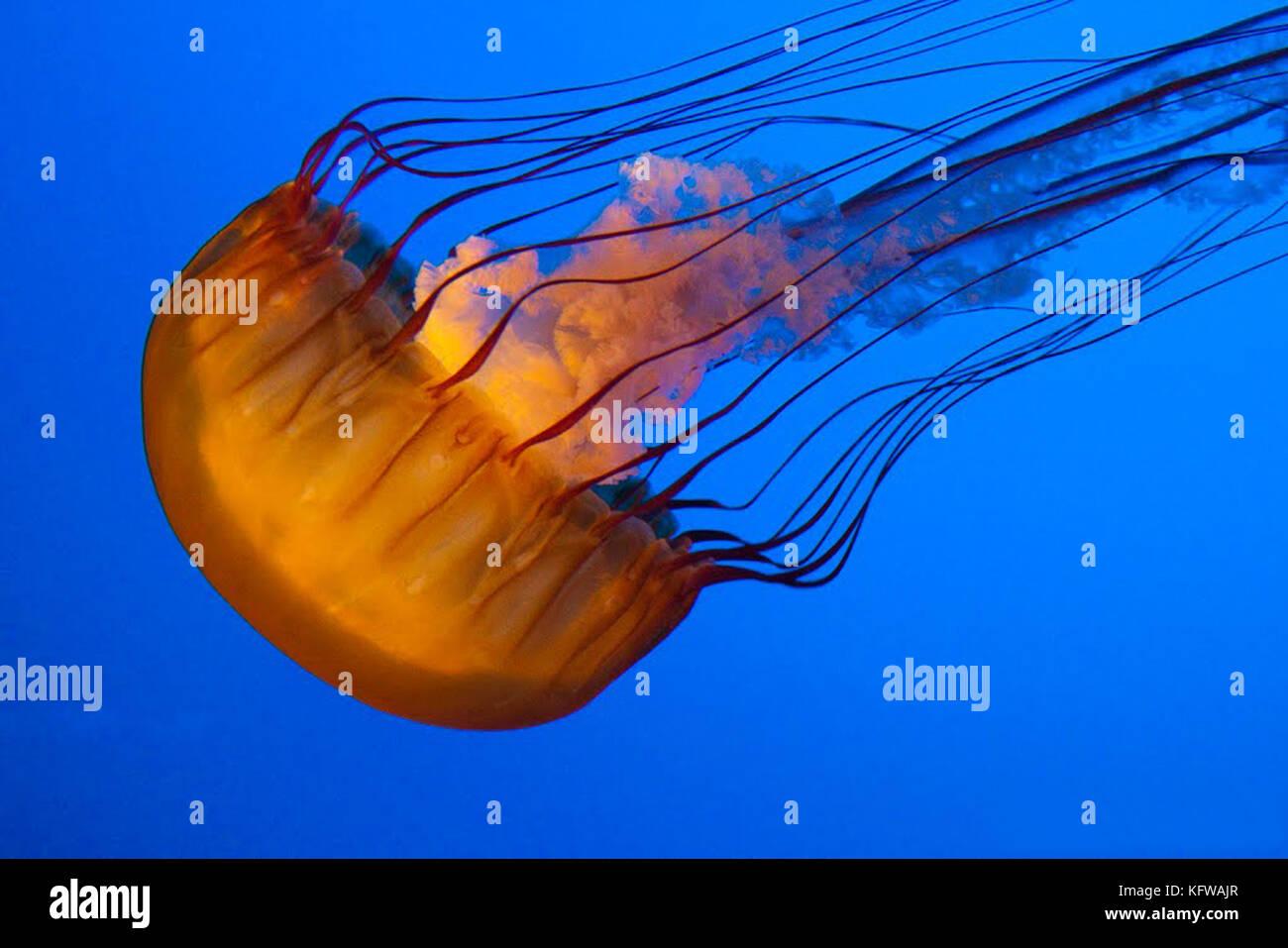 Les méduses sur fond bleu. Photo Stock