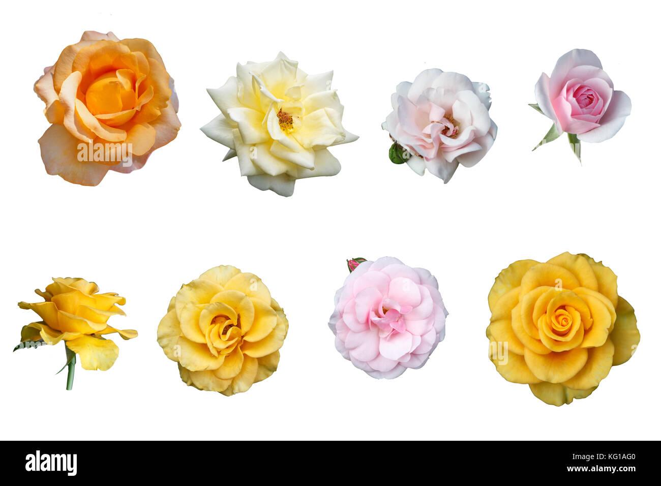 Belles roses multicolores isolé sur fond blanc Photo Stock