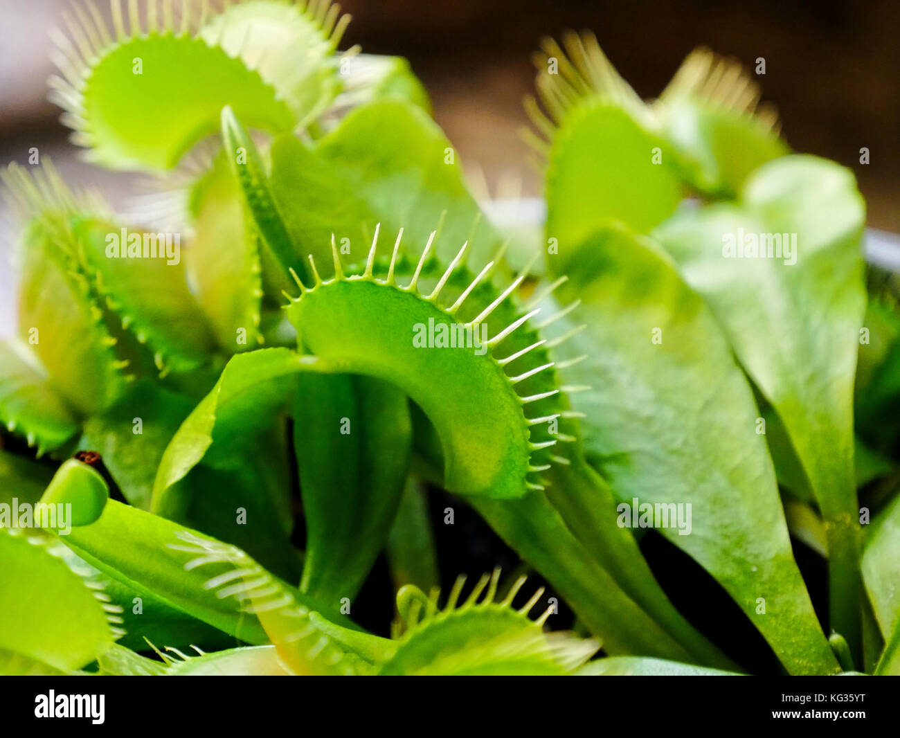 plante carnivore yt