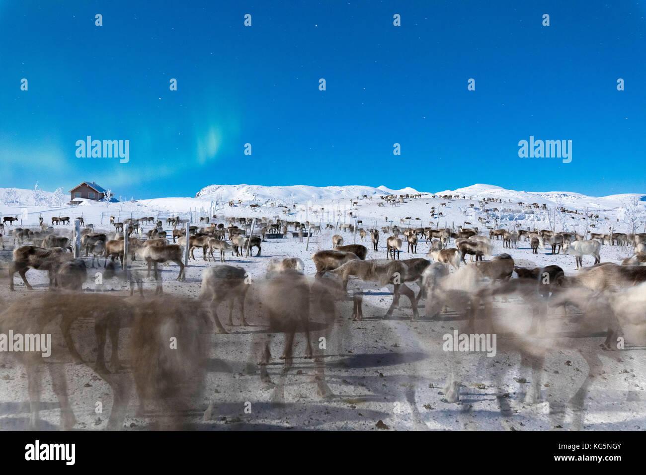 Troupeau de rennes dans le cadre de northern lights, abisko, municipalité du comté de Norrbotten, Kiruna, Photo Stock