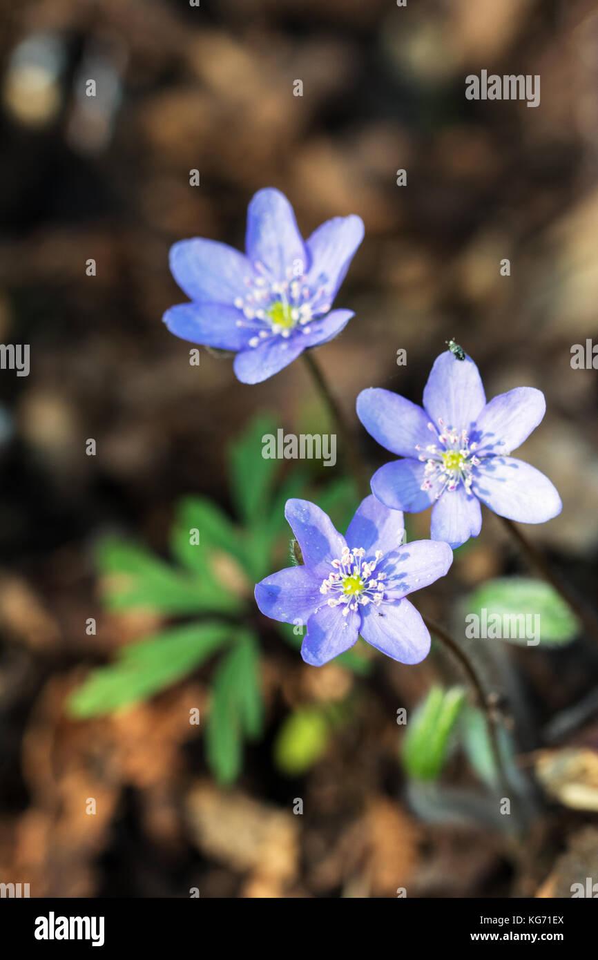 Fleur De Sous Bois Bleue un bouquet de trois fleurs de l'hépatique bleu au printemps