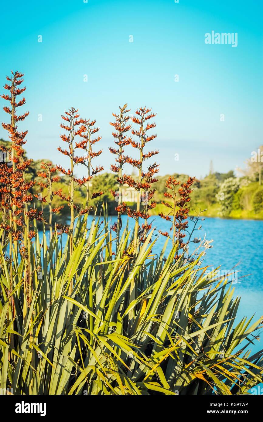 New Zealand native bush lin en fleur (Phormium tenax) à côté d'une lagune dans waikanae sur la côte kapiti. Banque D'Images