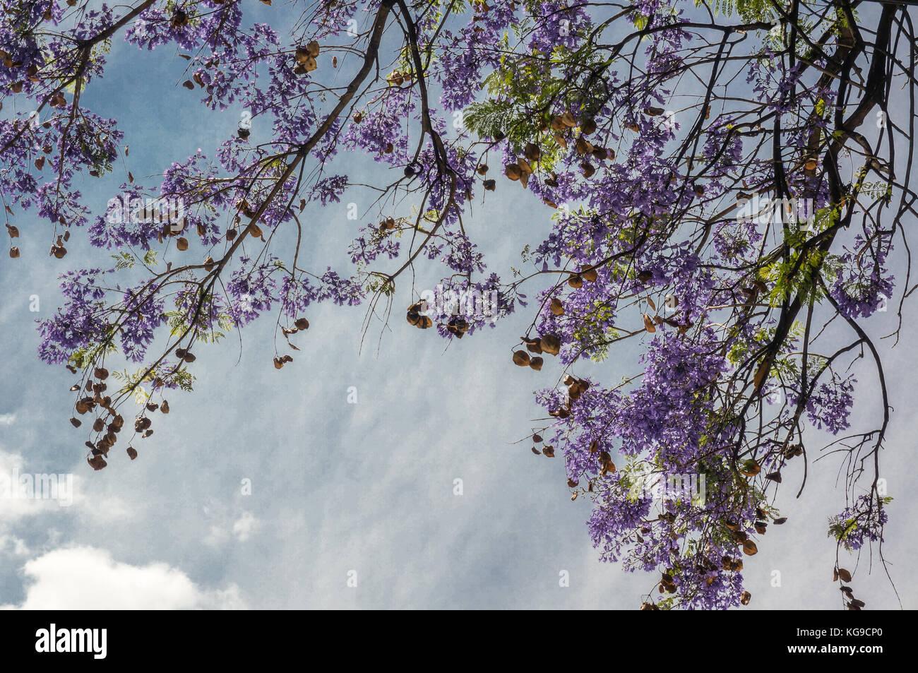 arbre violet banque d'images, photo stock: 164935400 - alamy
