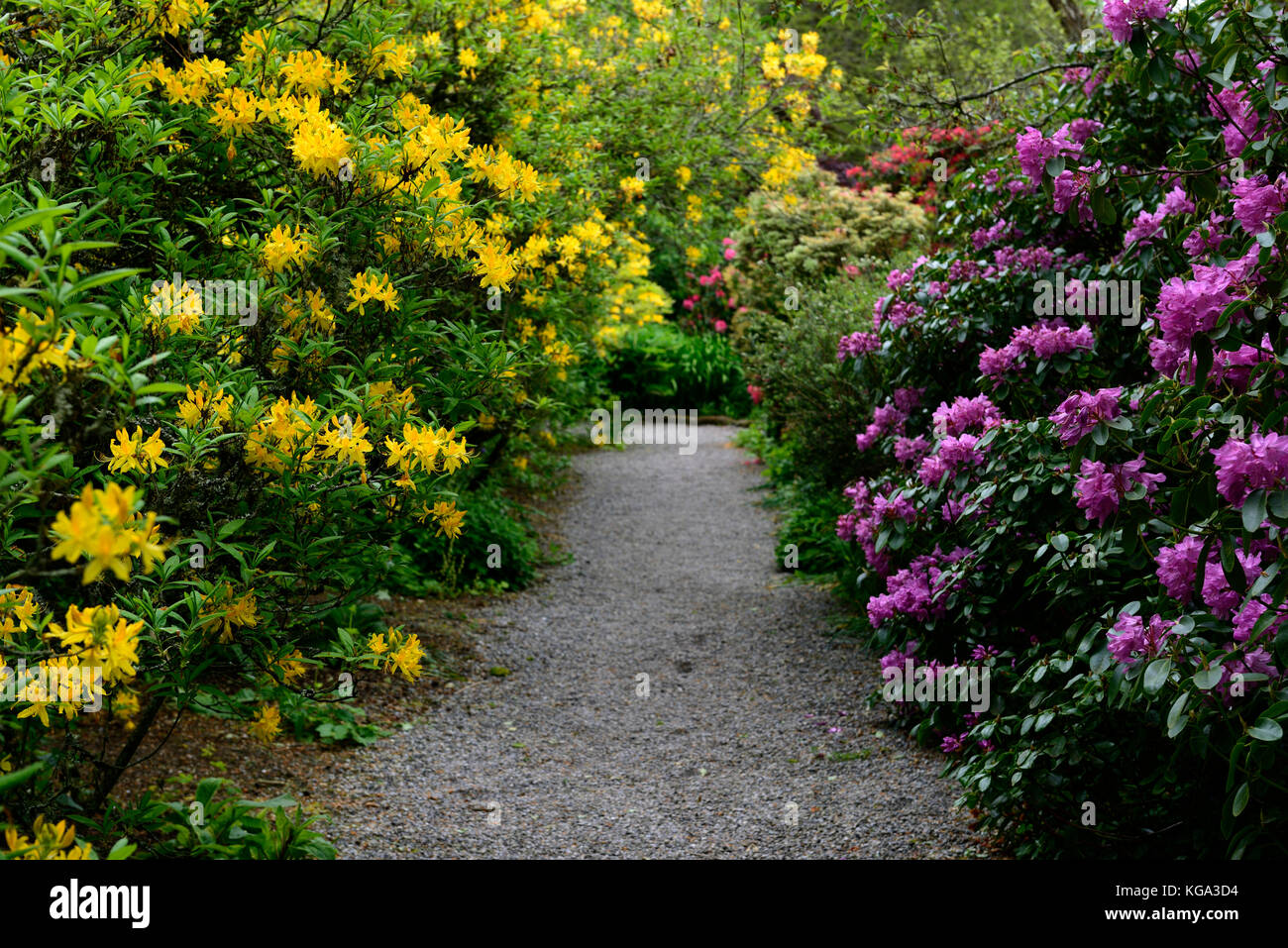 rhododendron jaune jaune azalea pontica rhododendrons arbustes fleurs jaunes la floraison. Black Bedroom Furniture Sets. Home Design Ideas