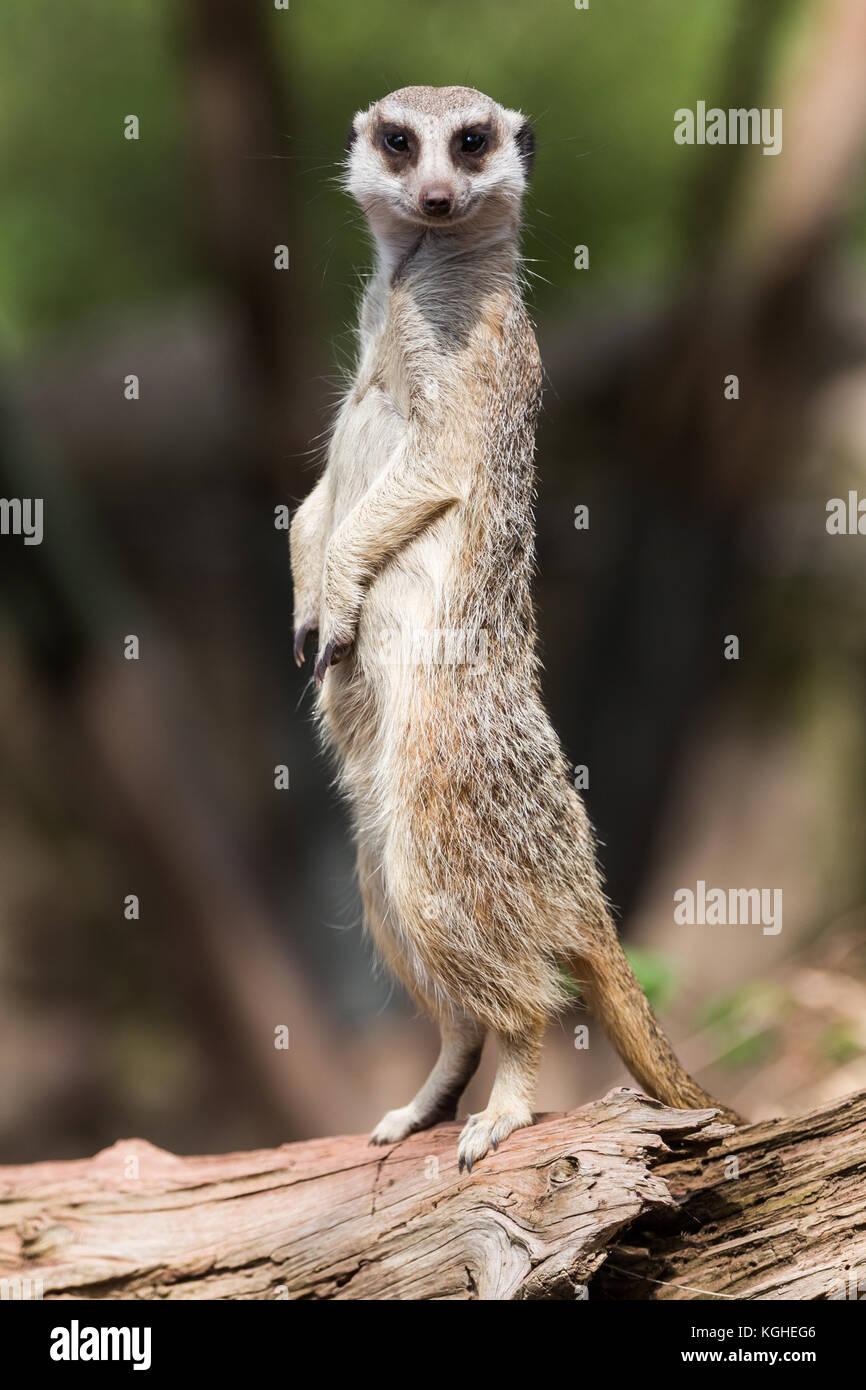 Meerkat debout sur un journal Photo Stock