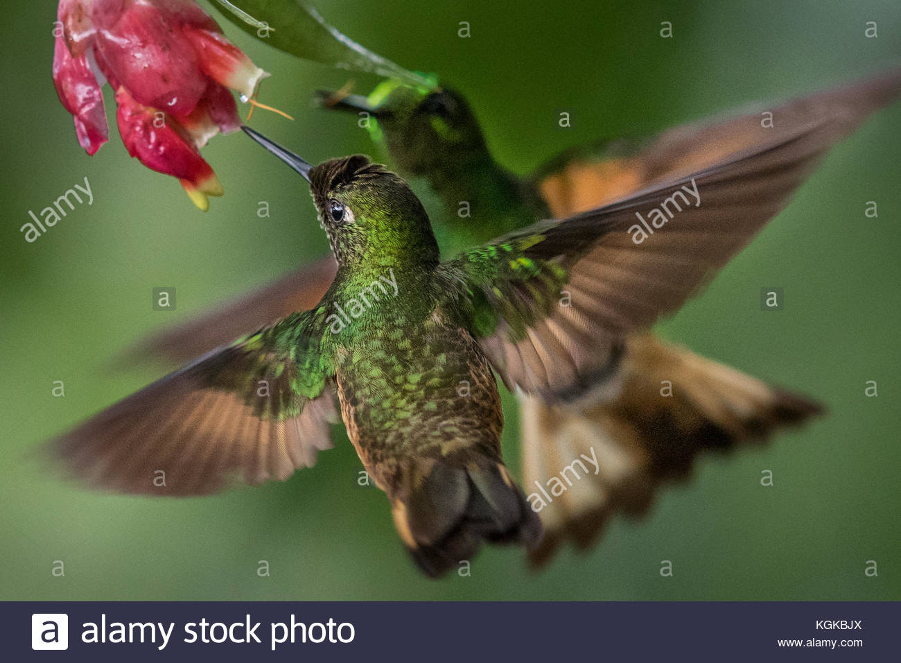 Un buff-tailed hummingbird Boissonneaua flavescens, Coronet, boissons à partir d'une fleur. Photo Stock