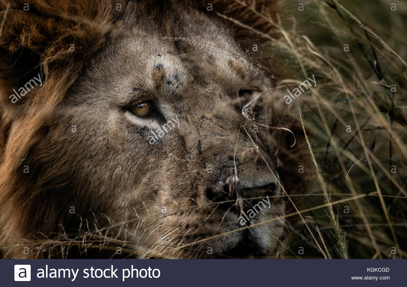 Portrait d'un homme lion, Panthera leo, dans l'herbe haute. Photo Stock