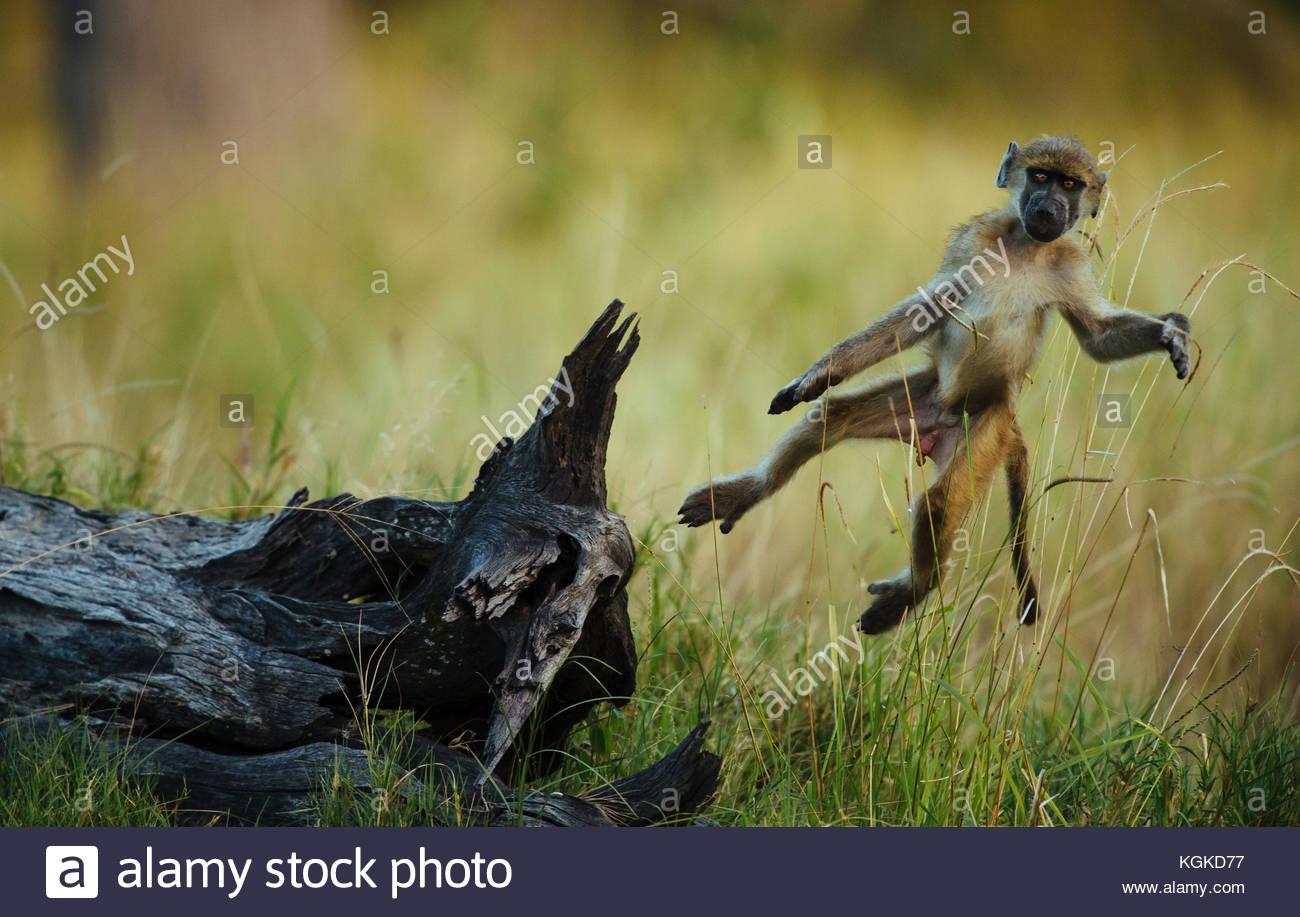 Un jeune babouin cub sautant d'un arbre mort. Photo Stock