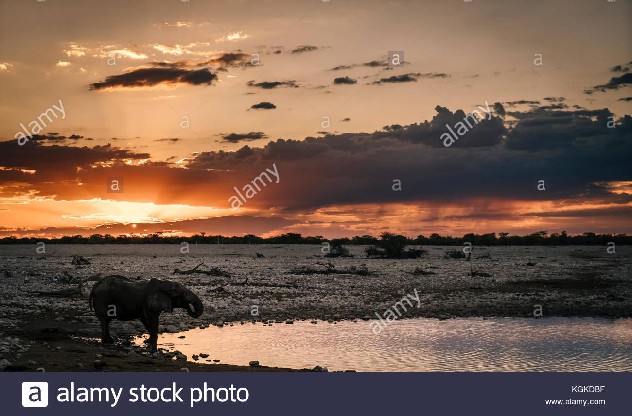 L'éléphant d'Afrique, Loxodonta africana, boire à un trou d'eau au coucher du soleil. Photo Stock