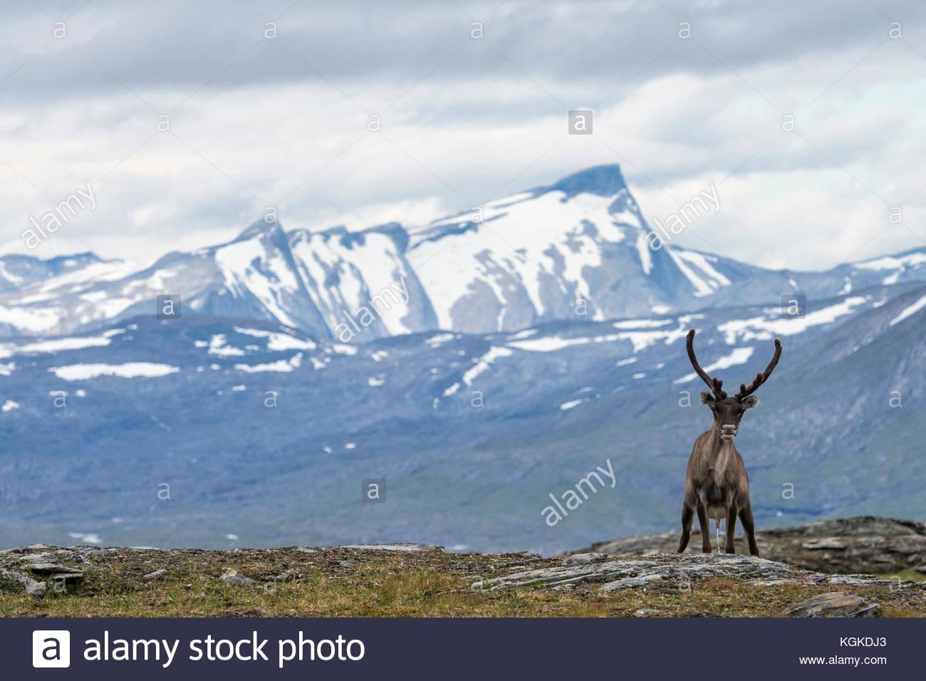Semi-domestiquées renne, Rangifer tarandus, dans le Parc National de Padjelanta. Photo Stock
