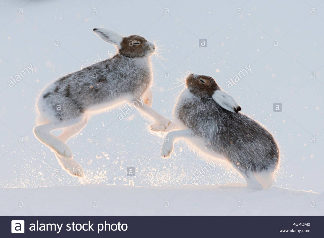 Lièvre, Lepus timidus, combats. Photo Stock