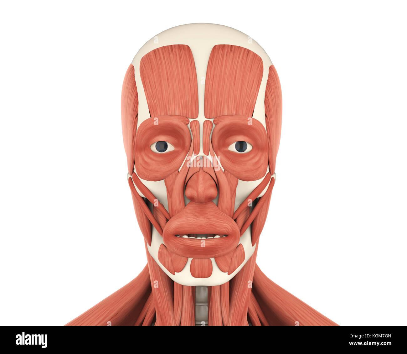Les droits de l'anatomie des muscles du visage Photo Stock