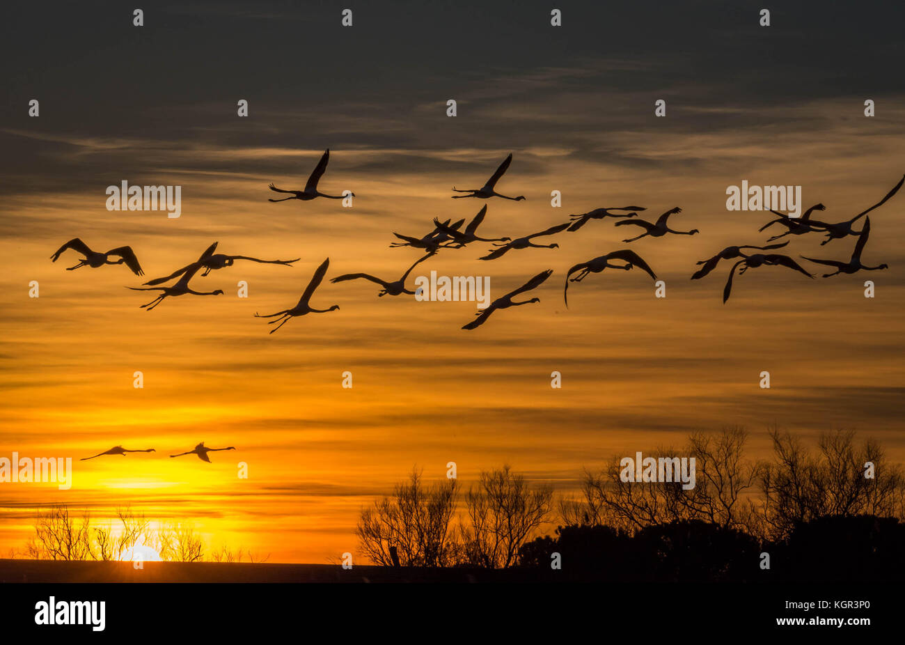 Coucher du soleil avec le vol de flamants roses en Camargue , france Photo Stock