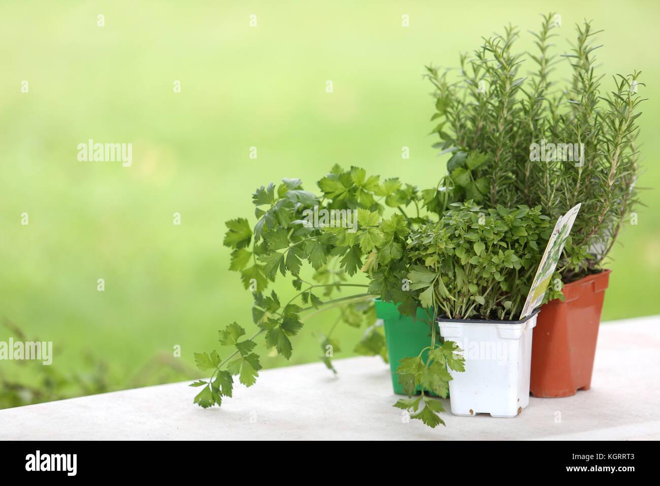 Plantes aromatiques set sur table Photo Stock
