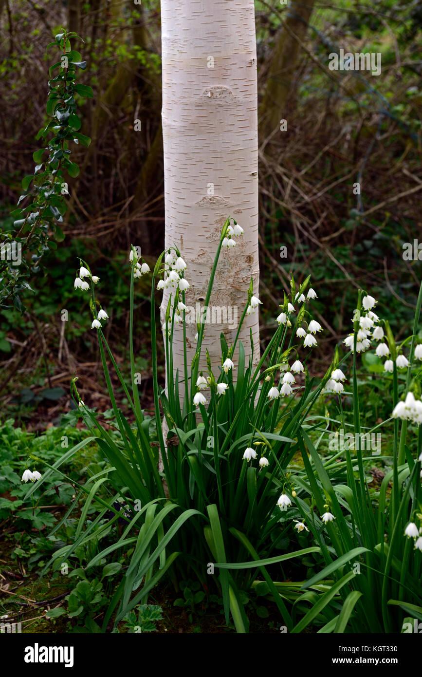 Leucojum Aestivum Gravetye Giant L Ete Flocon Lily Loddon Fleurs
