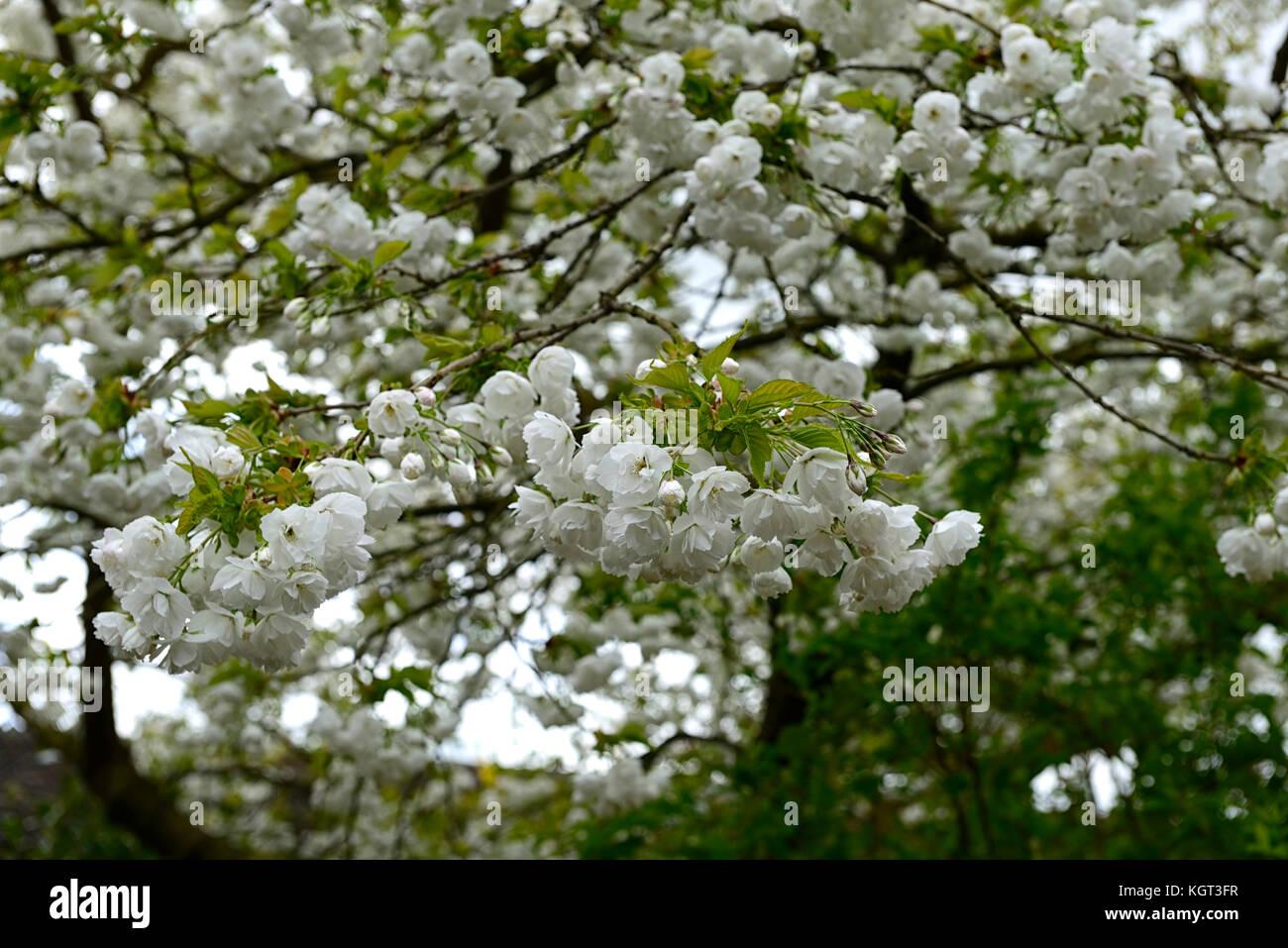 Prunus Shirotae Le Mont Fuji Le Mont Fuji Prunus Cerisier Cerisier