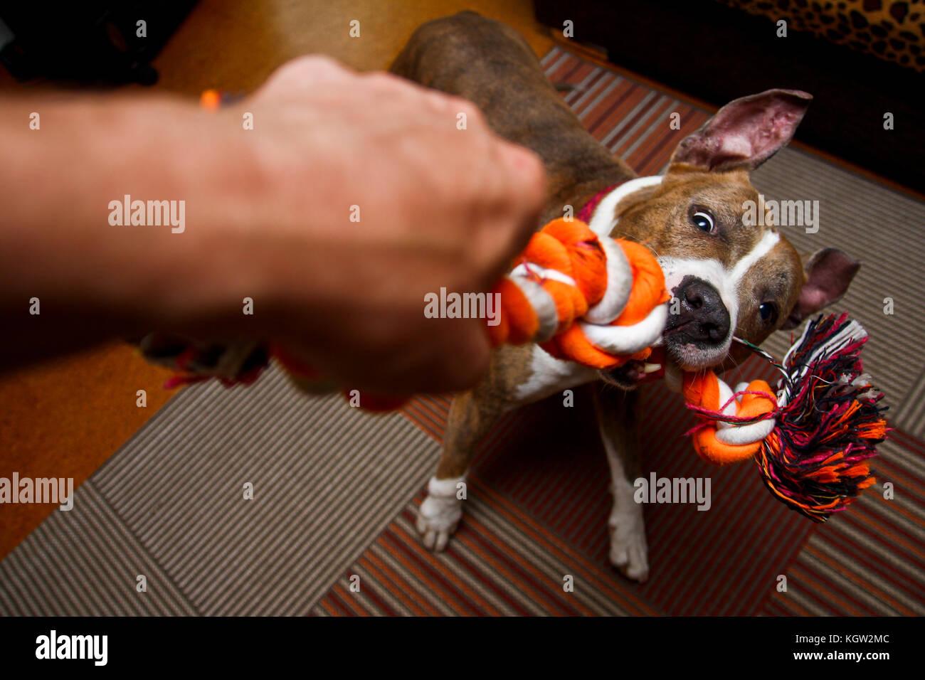 L'American Staffordshire chien joue avec le propriétaire. Il s'est mordre dans la corde et se bat avec Photo Stock