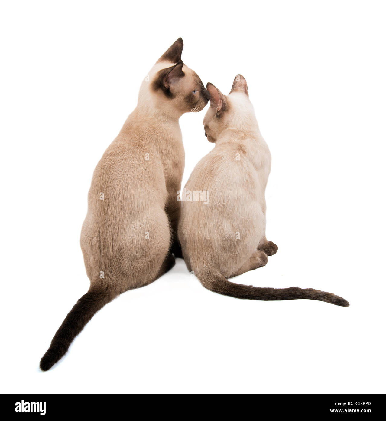 Deux jeunes chats siamois assis à côté de l'autre, montrer de l'affection, on white Banque D'Images
