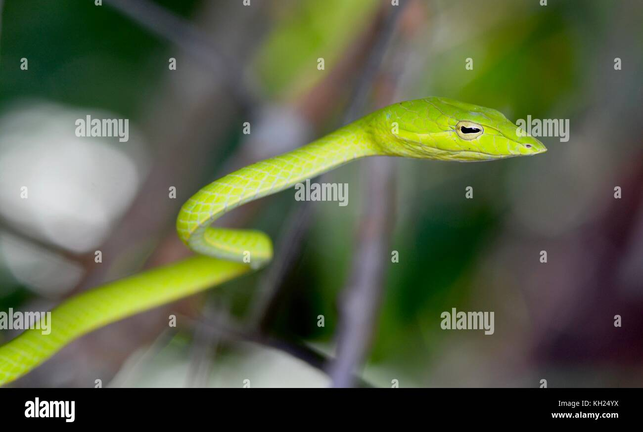 Tête d'un serpent de vigne verte prises à scrub près d'une plage de Bornéo Banque D'Images