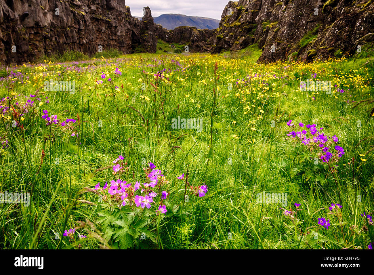 Low Angle View of a prairie en un défaut de fleurs de fleurs sauvages, le Parc National de Thingvellir, Islande Photo Stock