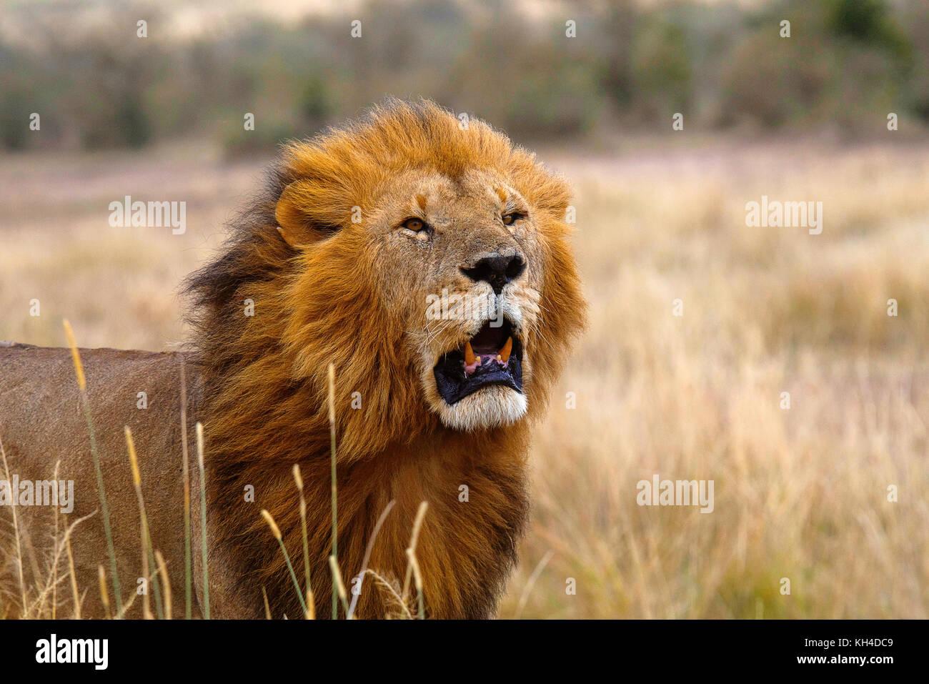 Lion d'Afrique- homme, le Kenya, l'Afrique2 Photo Stock
