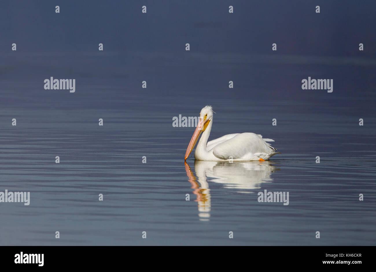 Le pélican blanc sur l'eau bleue Photo Stock