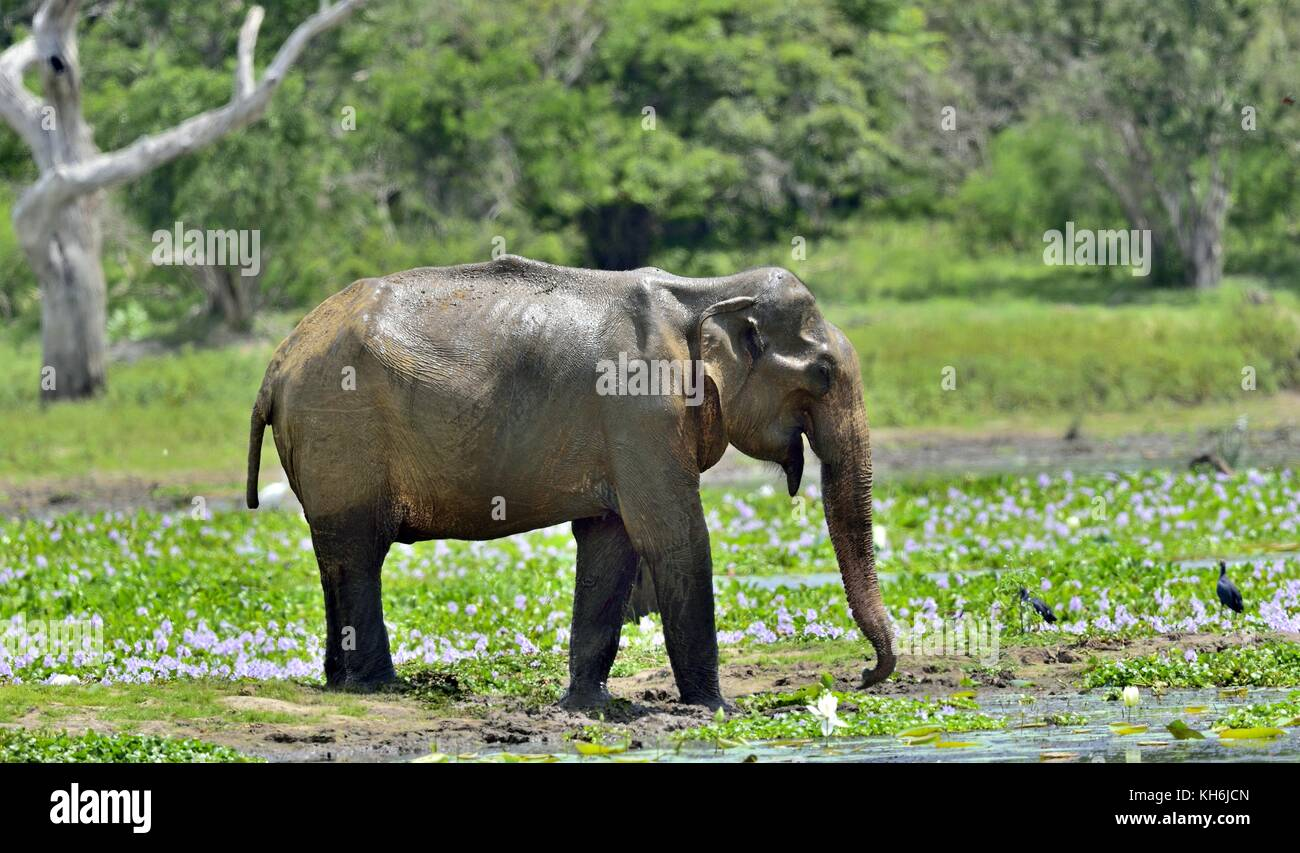 L'adulte mâle d'éléphants du Sri Lanka (Elephas maximus maximus). L'alimentation sur Photo Stock