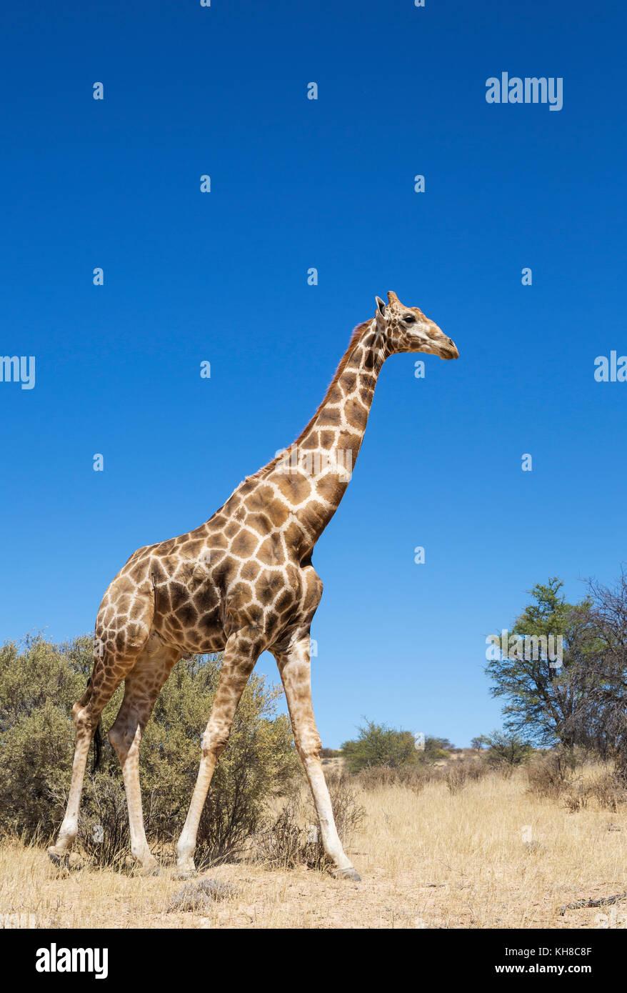 Le sud de Girafe (Giraffa giraffa), âgés de sexe masculin, désert du Kalahari, kgalagadi transfrontier Photo Stock