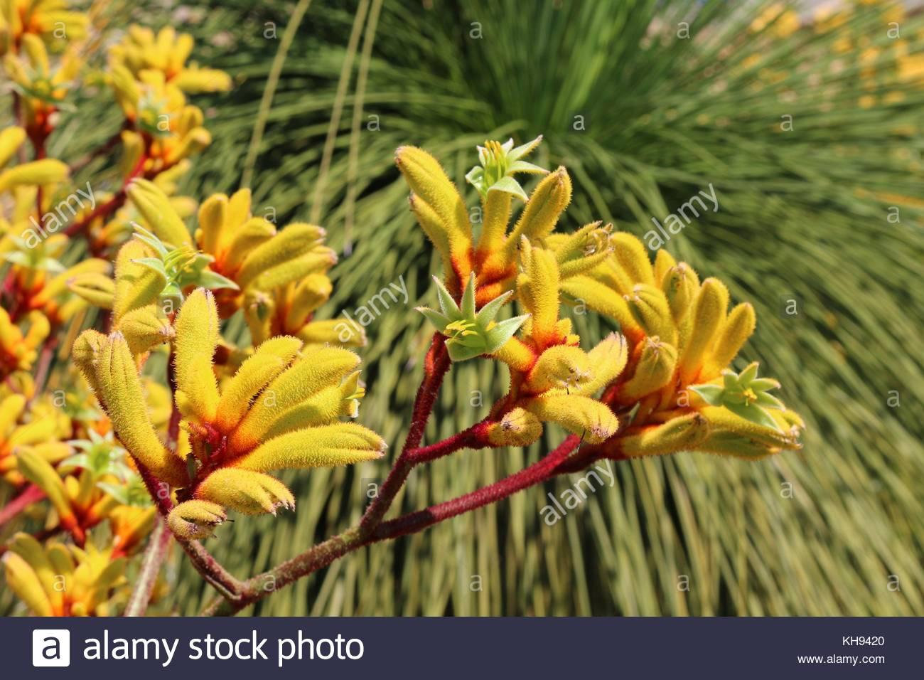 Patte De Kangourou Jaune Fleur En Face D Un Grasstree Banque D