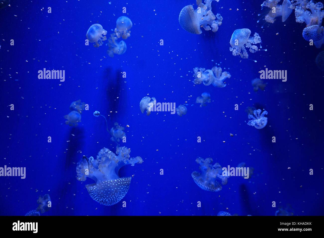 Méduse tachetée blanc Photo Stock