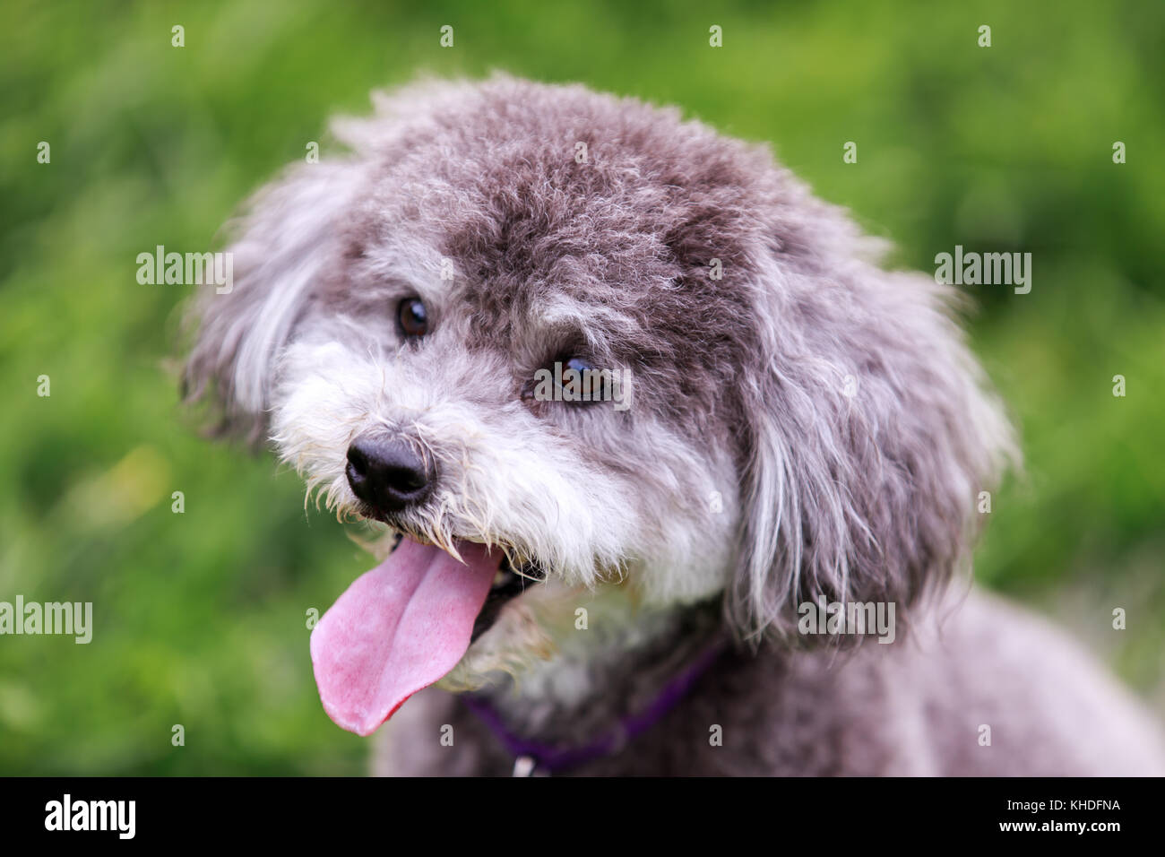 Schnoodle head shot. Photo Stock