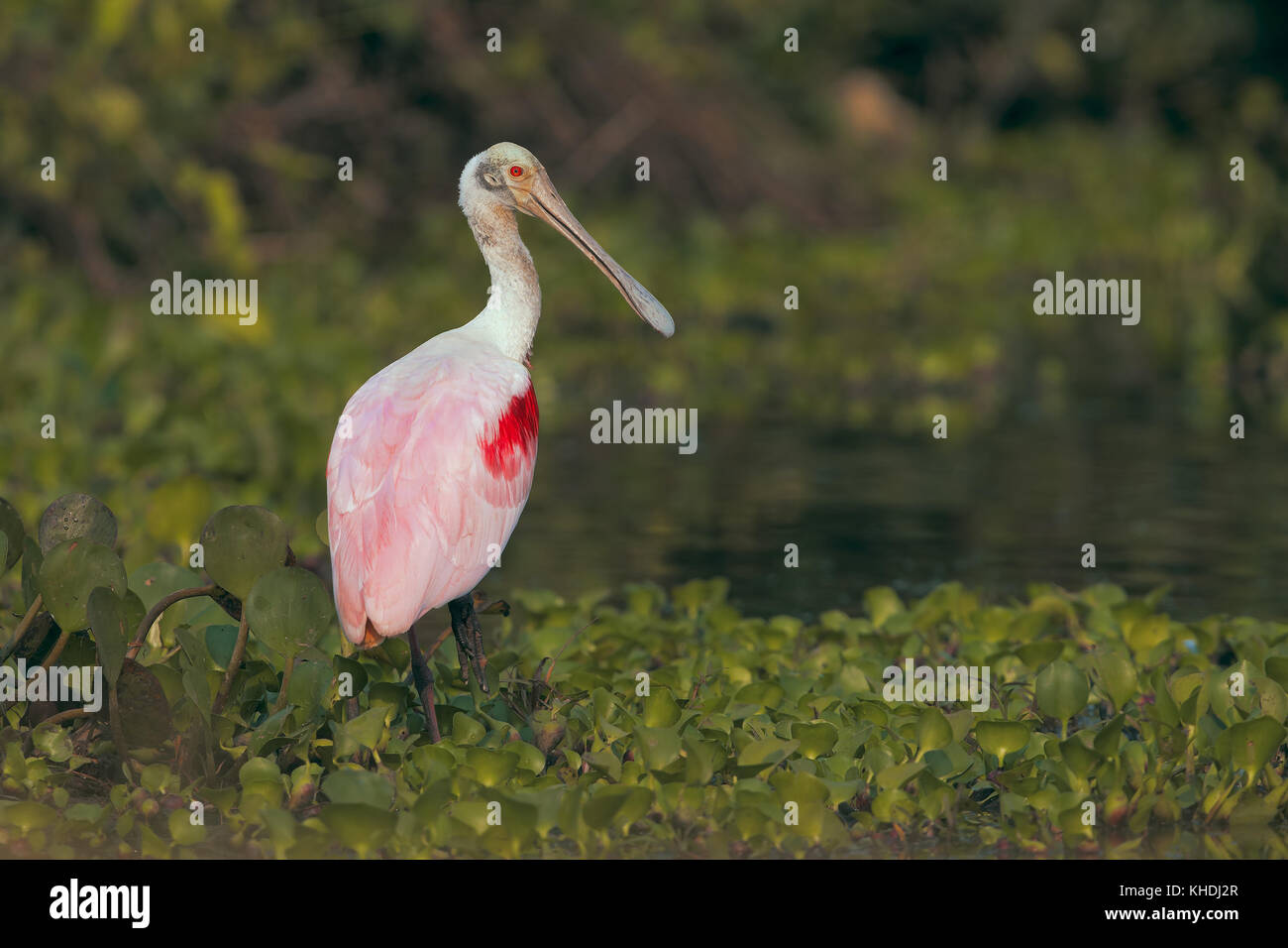 Roseate spoonbill Banque D'Images