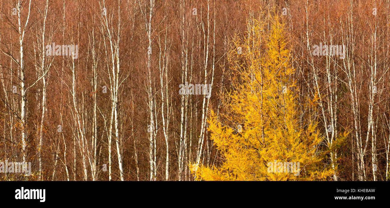De grands arbres verticaux symétrie interrompue par une famille de mélèzes. Photo Stock