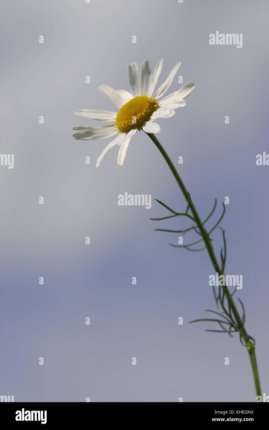 La Camomille La Fleur Blanche Avec Un Cœur Jaune Sur Une Longue