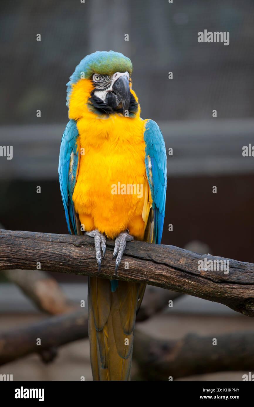 Blue-and-yellow macaw (ara ararauna), également connu sous le nom de bleu et or macaw: grand perroquet Photo Stock