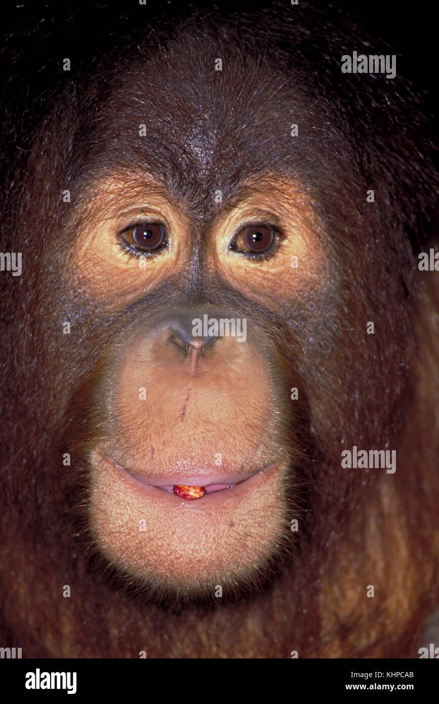Orang-outan Photo Stock