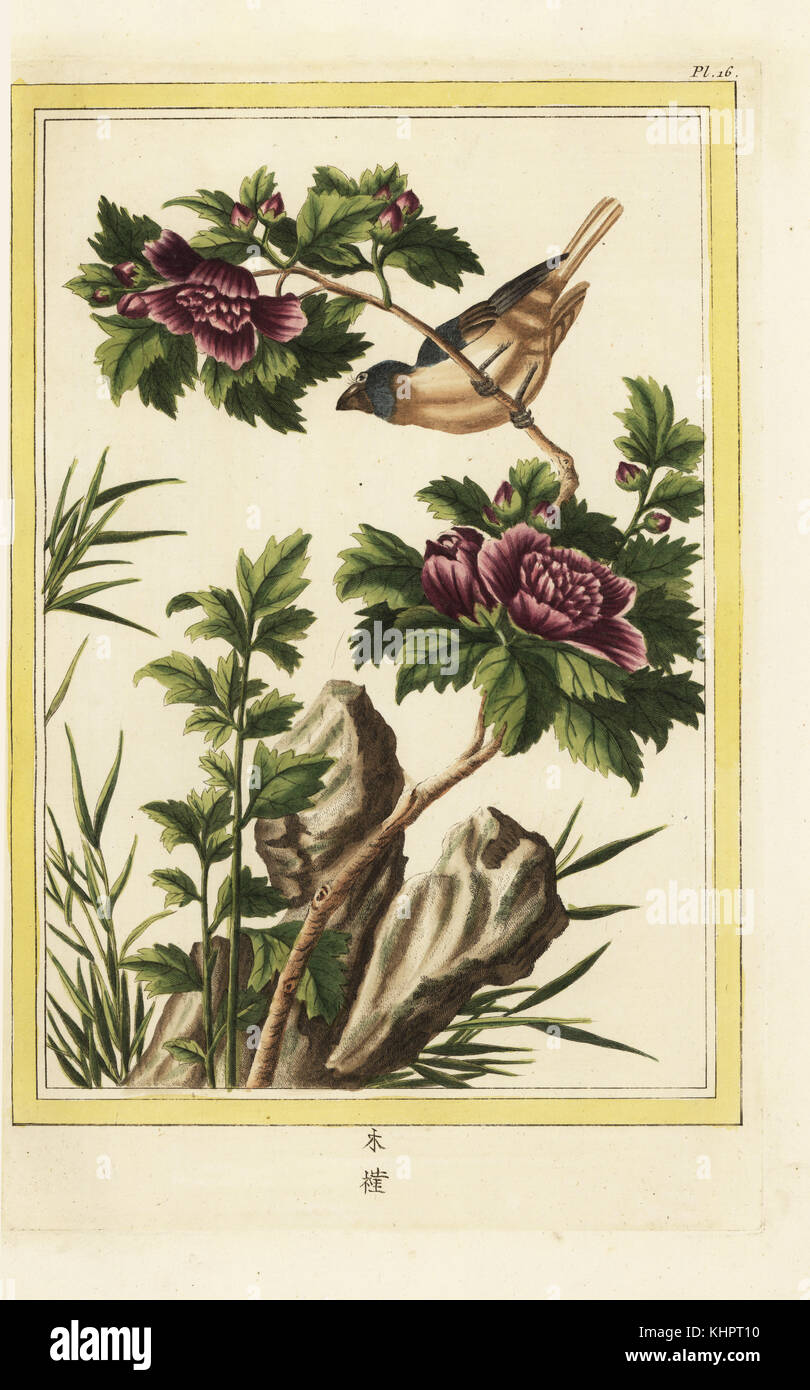 la mauve en arbre a fleurs violettes. hibiscus syriacus hibiscus