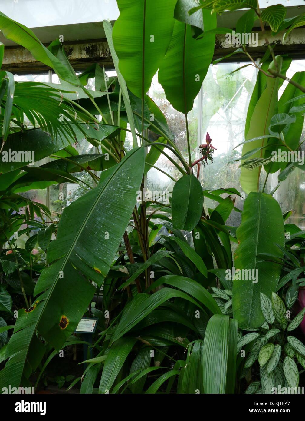 Plant De Banane Des Canaries La Banane Est Un Fruit Comestible