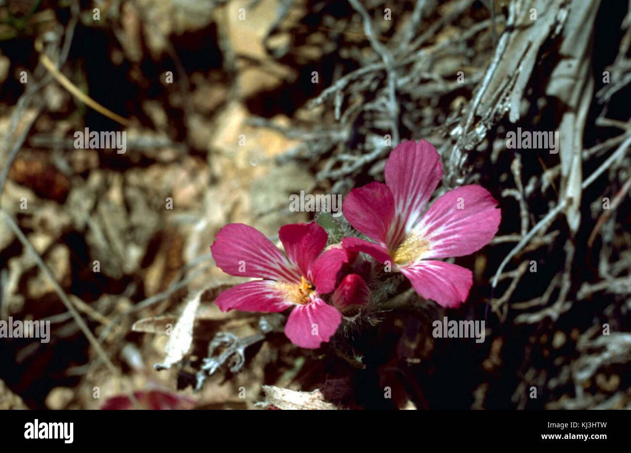 Plante De Lin Sauvage Avec Purle Linum Usitatissimum Fleurs Rose