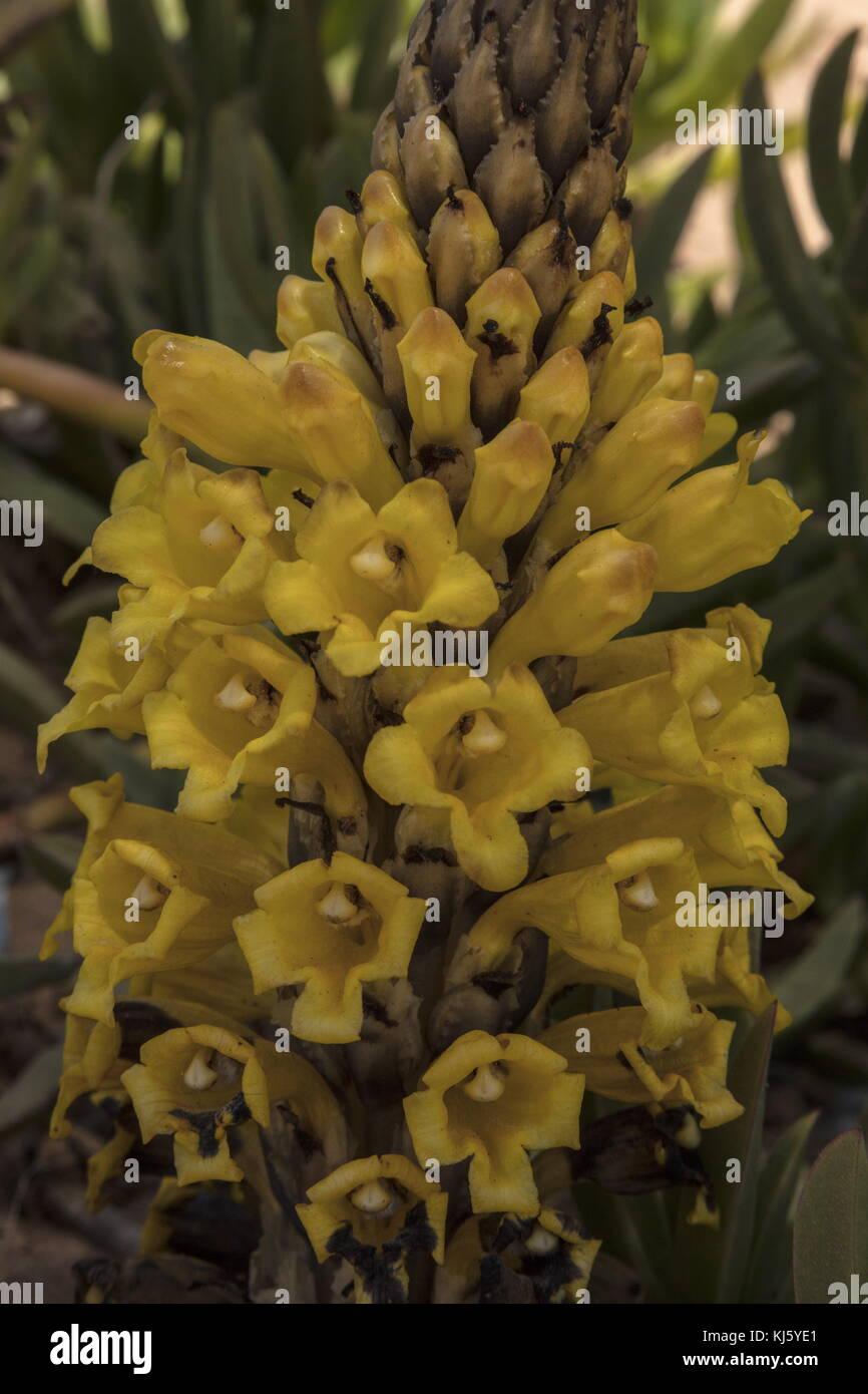 L'orobanche jaune, cistanche phelypaea, en fleurs sur les dunes, le Maroc. Banque D'Images